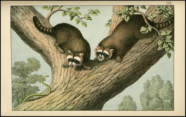 zoological chromolithograph - Le raton laveur