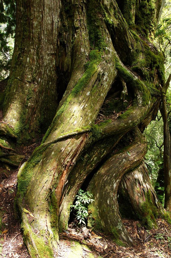 巨木群,與往拉拉山的路上-043