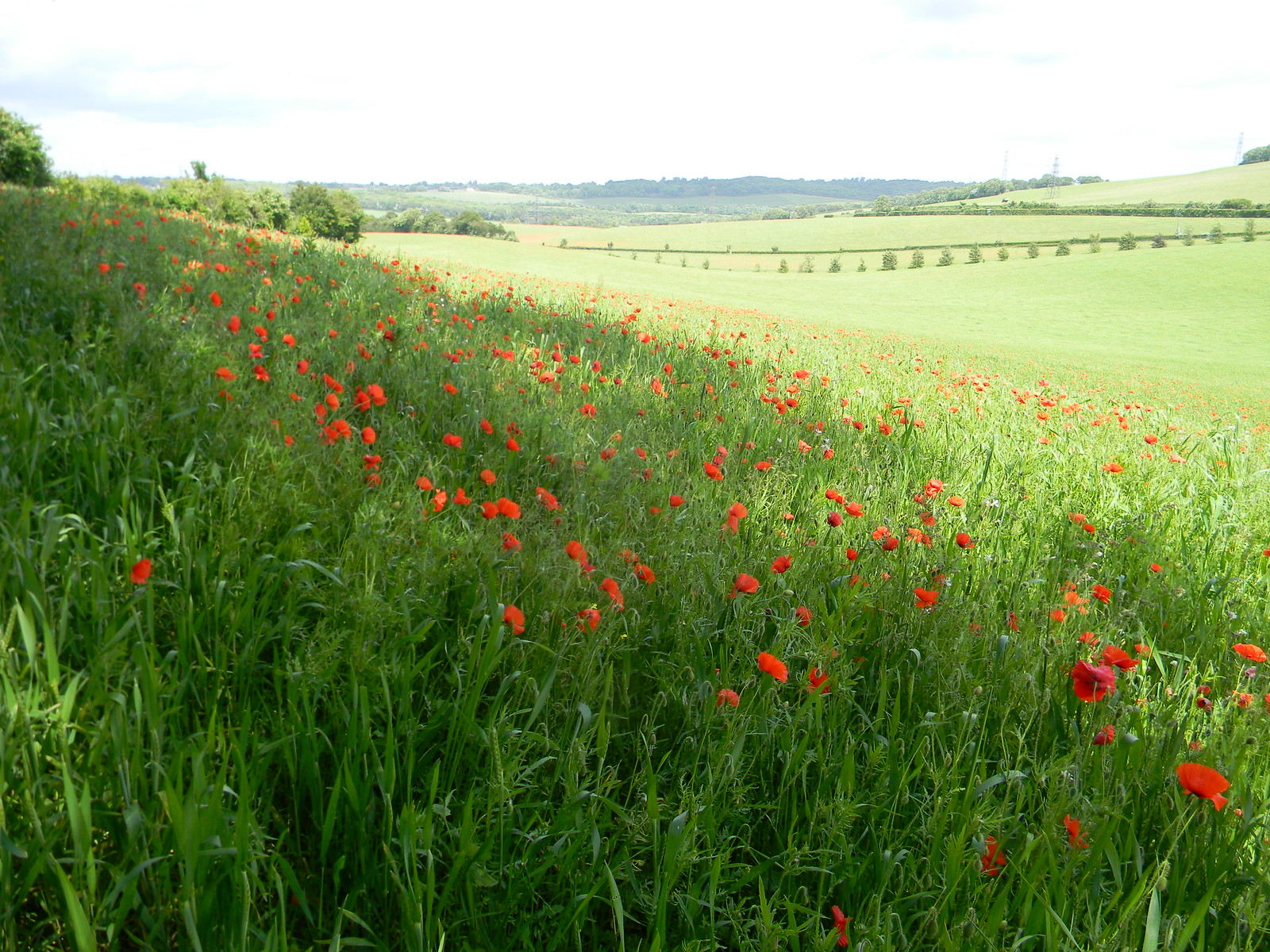 Poppies with view Cuxton to Sole Street
