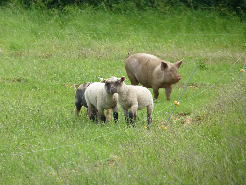 Callow Farm - lambs and pigs