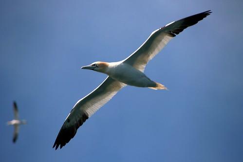Gannet Wingspan