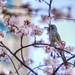 Dusky Thrush with sakura (ツグミと桜)
