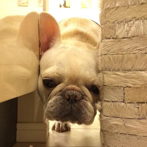キッチンへのバリケード突破失敗 ちょろちょろぺろぺろ うるさいから締め出し #frenchbulldog #buhi #frenchie #dog #フレンチブルドッグ #フレブル #ブヒ