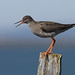 Stelkur Tringa totanus Common Redshank