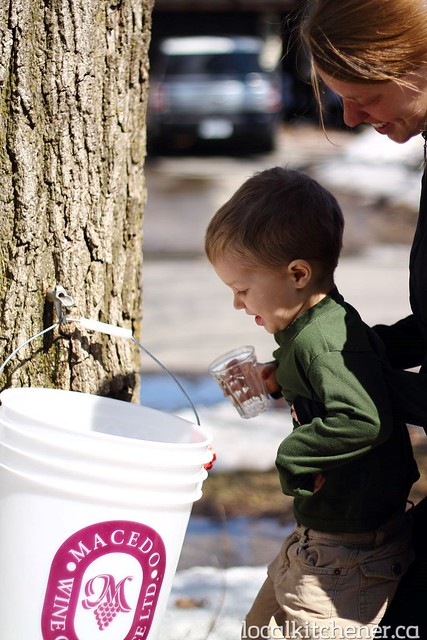 maple sap tapping10