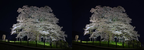 Daigo-zakura (cherry blossoms), illuminated, stereo parallel view