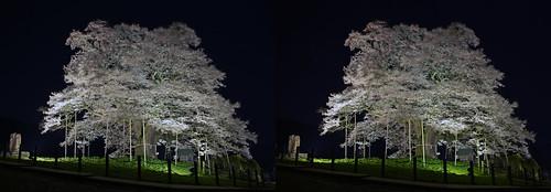 Daigo-zakura (cherry blossoms), illuminated, stereo parallel view