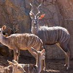 Lesser Kudu, San Diego Zoo