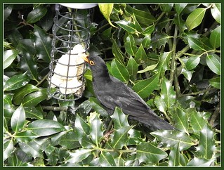 crafty male Blackbird