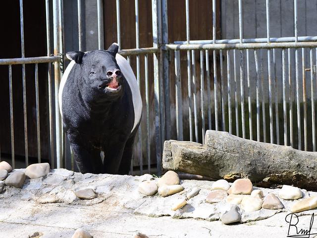 Tapir_zoomadrid