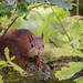 Squirrel - Rode Eekhoorn - Sciurus vulgaris - ardilla - Eichhörnchen - écureuil