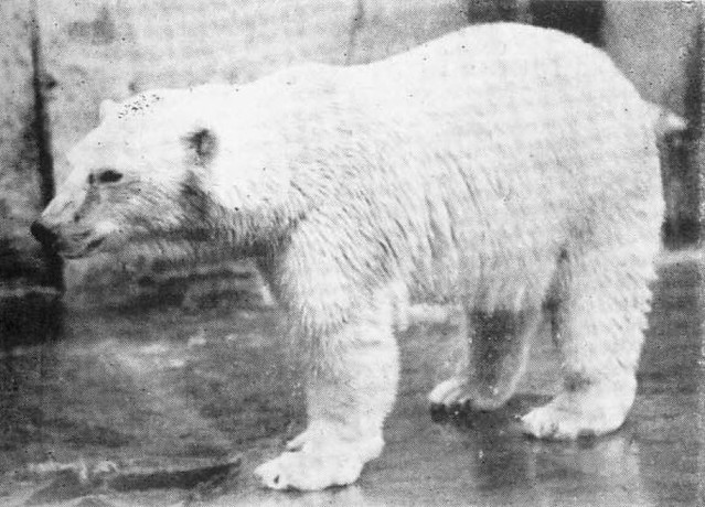Header of the polar bear