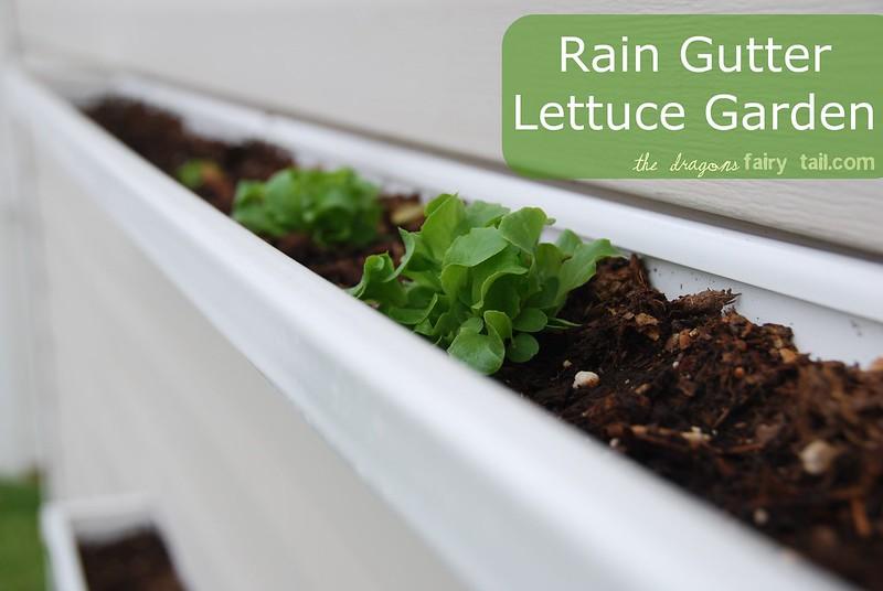 Rain Gutter Lettuce Garden