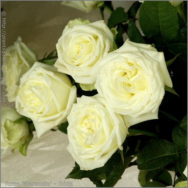 Rosa 'Marousia' - Róża 'Marousia'