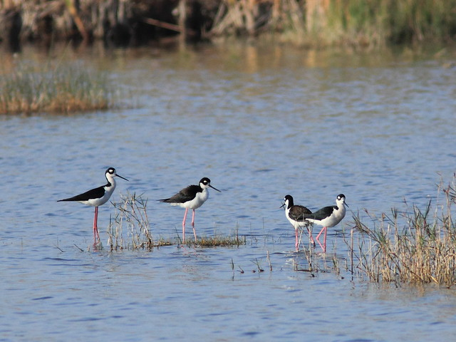 Black-necked Stilt20120402