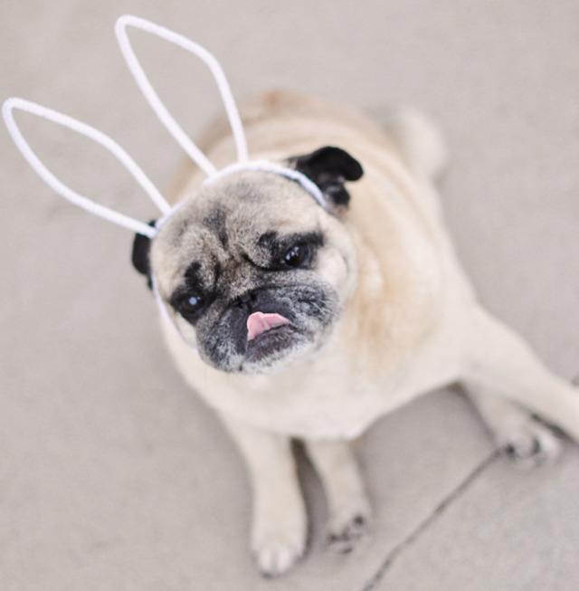 easter pug-pug bunny with ears