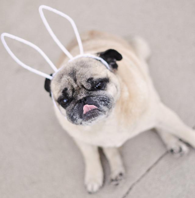 easter pug-pug bunny with ears