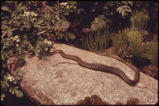 Western garter snake on the shore of the Snake River in Hells Canyon. Judging by the bulge, the snake has recently lunched--probably on a frog, 05/1973
