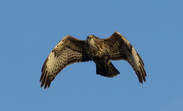 common buzzard 6