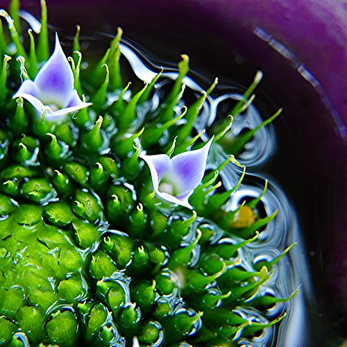 Tiny flowers at the watery heart of a purple Bromeliad by jungle mama