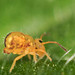 Small photo of Springtail- Dicyrtomina ornata, adult female