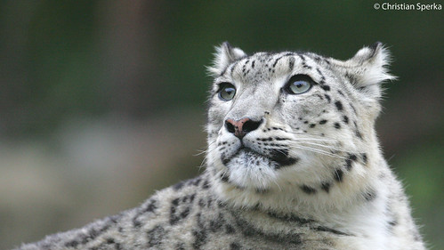 Snow Leopard Profile Close Up