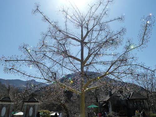 箱根ガラスの森美術館 桜の木