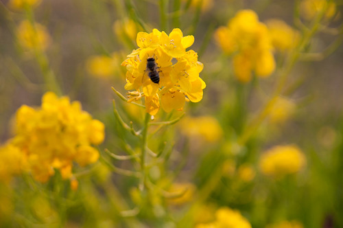 菜の花と蜂