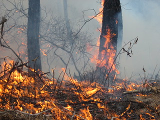Orange flames lap pine trees and burn oak shrubs and ground cover.