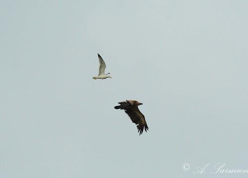 103/365+1 Buitre leonado acosado por una gaviota cuando intentaba sobre volar  el Pueblo. by Alfonso Sarmiento.
