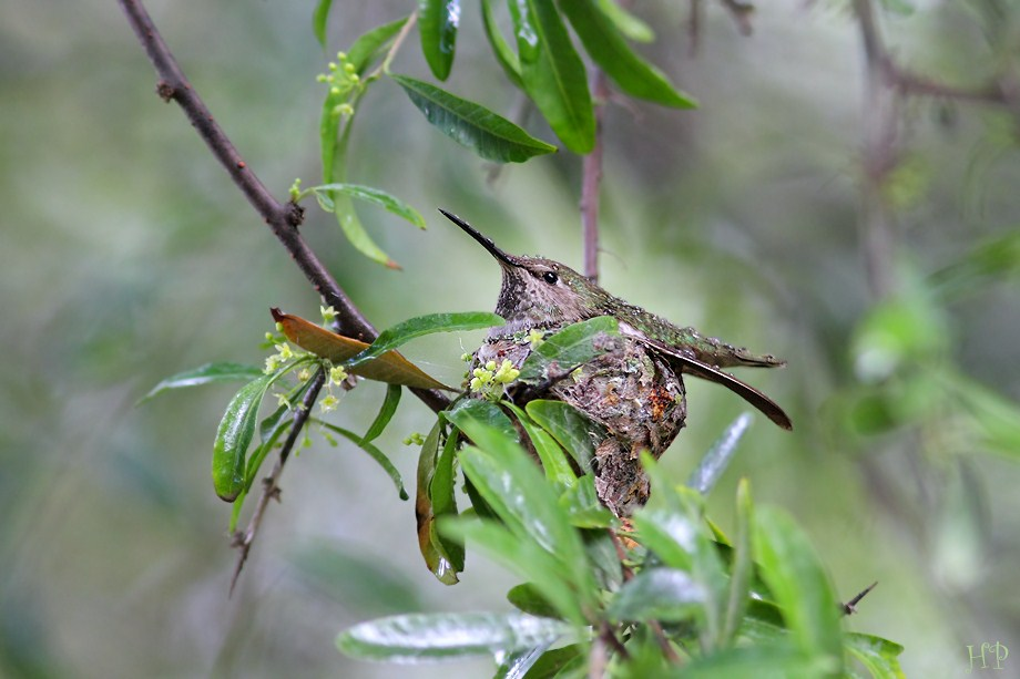 Anna's Hummingbird nest 041312