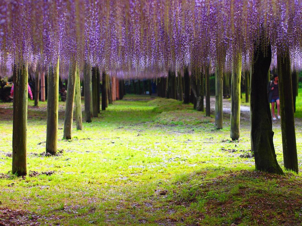 河内藤園の木々から垂れ下がる藤