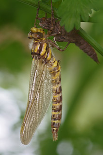 Dragonfly just emerged 1
