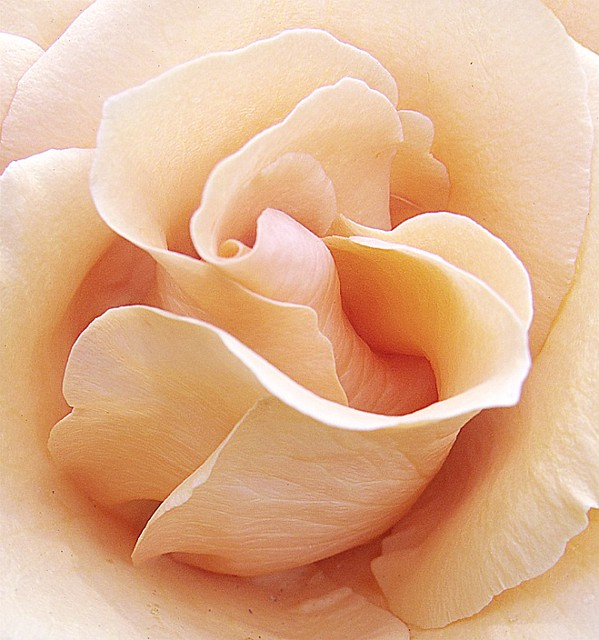 Cream colored rose flickr photo sharing for Cream rose wallpaper