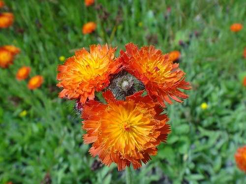 Hawking Orange. Hieracium aurantiacum, Devil's Paintbrush, Engelbert, Groningen, The Netherlands