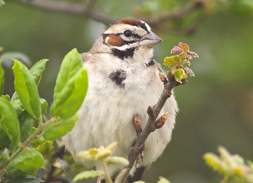 The lovely Lark sparrow