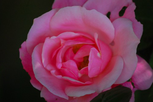 Mothers' Day Rose
