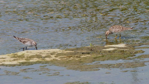 White-rumped Sandpiper and Pectoral Sandpiper