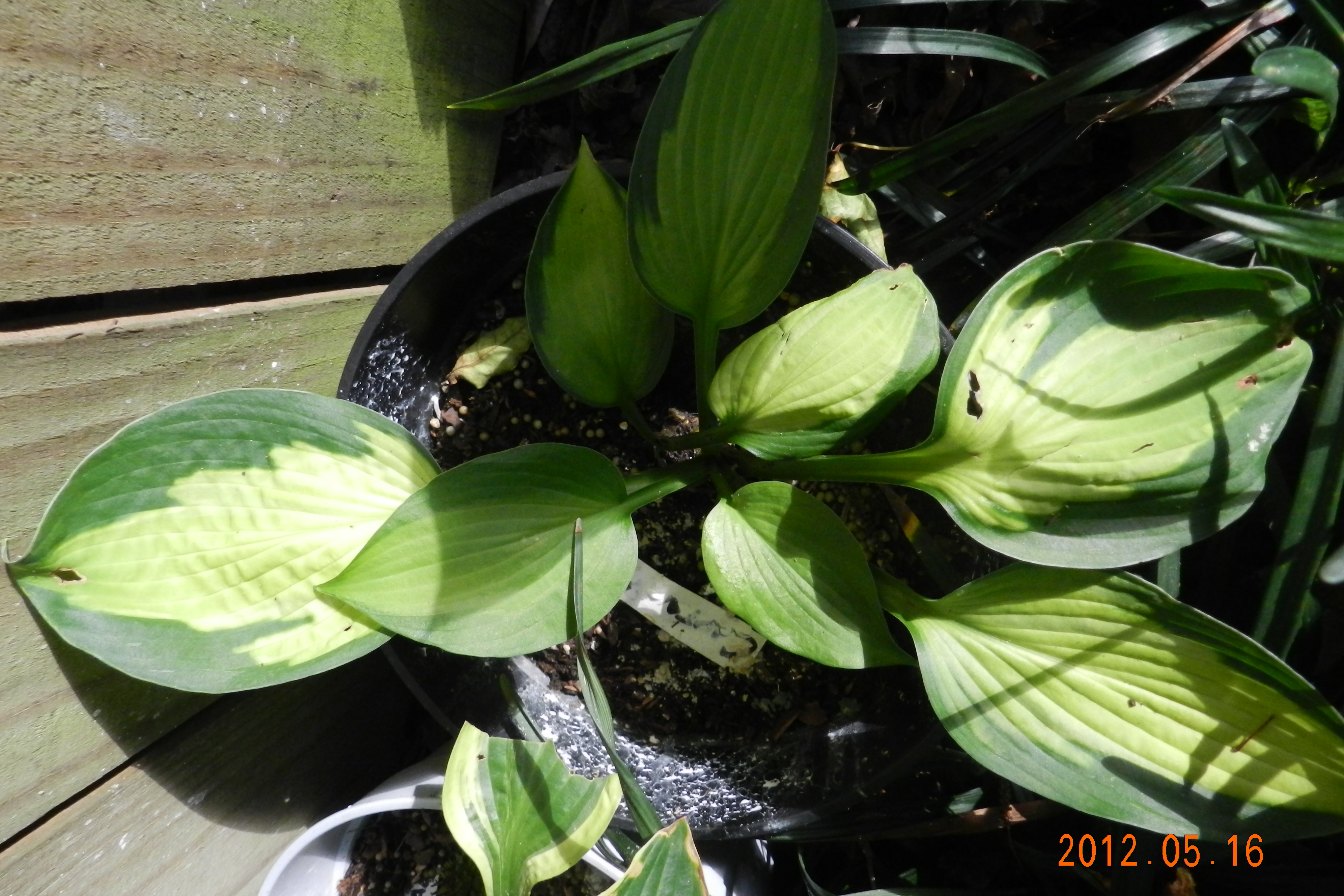 Hosta 'Captain's Adventure'