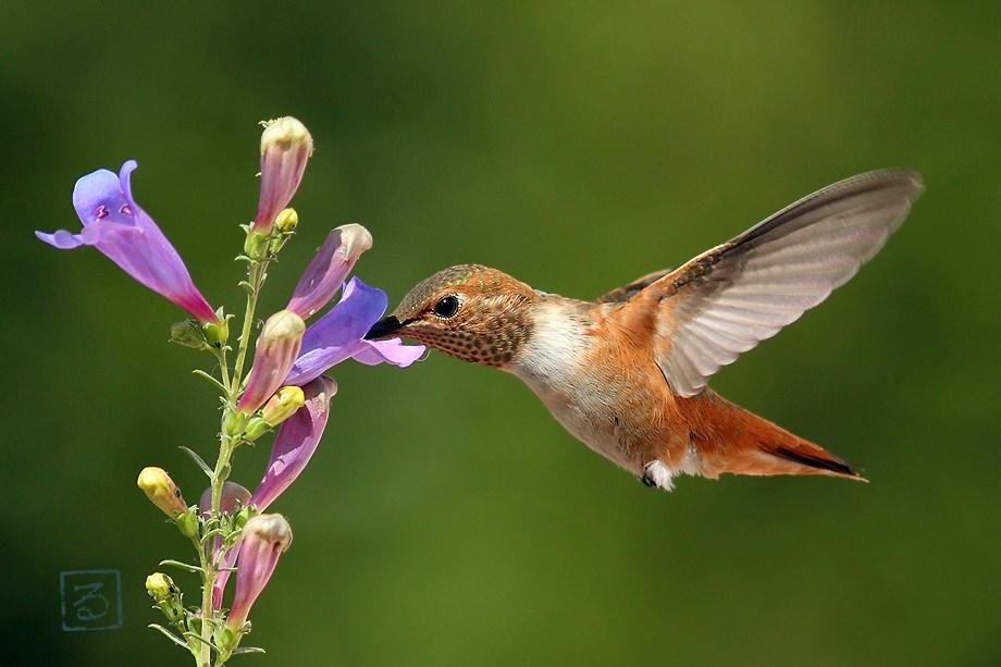 Allen's Hummingbird 051812-3