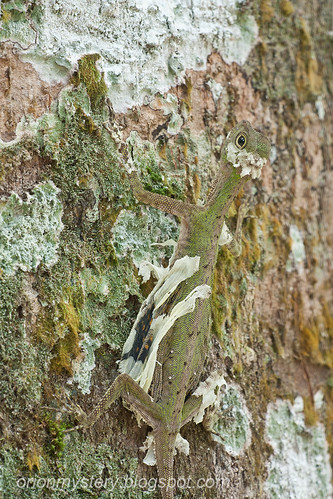 Draco melanopogon Flying dragon shedding skin.... IMG_4621 copy
