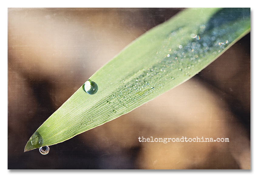 Water Droplet on Cornstalk BLOG