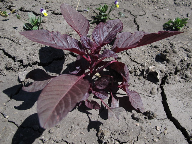 Header of Amaranthus Cruentus