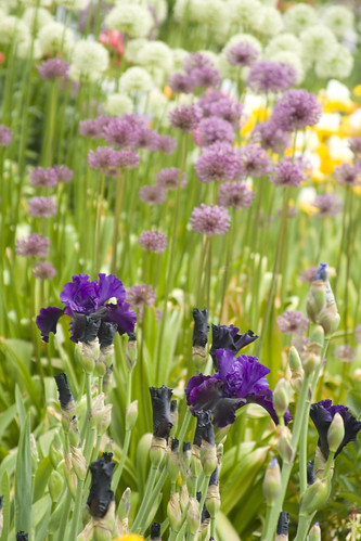 Dark Iris and Alliums