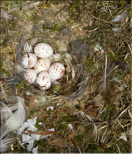 Huevos de Herrerillo Común by Bakalito (Antonio Benítez Paz)