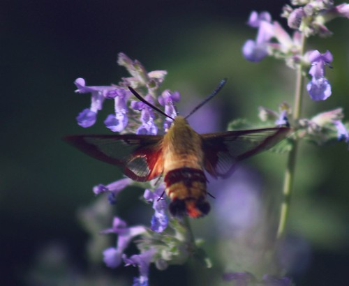 2012_0528HawkMoth0008 by maineman152 (Lou)