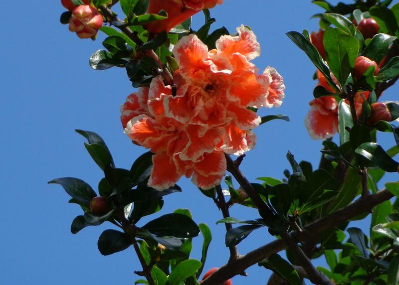 Photo: Grenadier à fleurs