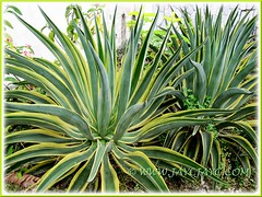 Agave desmettiana 'Variegata' (Dwarf Variegated Agave, Variegated Smooth Agave/Century Plant), beautifully variegated in green and yellow