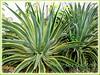 Agave desmettiana 'Variegata' (Dwarf Variegated Agave, Variegated Smooth Agave, Variegated Smooth Century Plant)