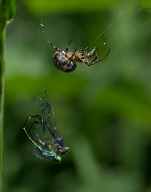 Nuctenea cornuta spider moving blue tailed damselfly pair 3